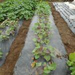 サツマイモ:4回目に植付けた苗が着根