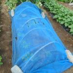コンニャクイモ:生子の畝を防虫ネットで覆う