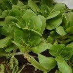 小カブ・赤カブ・チンゲンサイ:チンゲンサイの収穫を始める