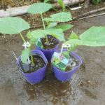 秋キュウリ:苗の植付け