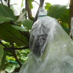 ナス:袋掛け栽培を始める