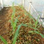 トウモロコシ(2):1回目の追肥を施す