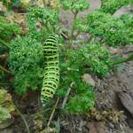 パセリ:キアゲハ幼虫の食害が始まる