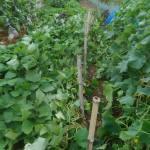 サツマイモ:畝の片側に柵をつくる