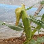 トウモロコシ(2):2段目の莢を欠き取る