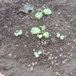 白菜:順調に発芽する