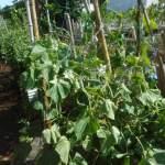 秋キュウリ:3回目の蔓下ろし・追肥を施す
