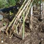 アスパラガス:秋アスパラの収穫