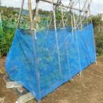 蔓ありインゲン(2):17号台風の強風対策