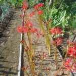 菜園の草花:彼岸花の開花
