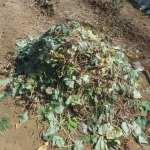 肥料づくり:サツマイモ残渣の処分法