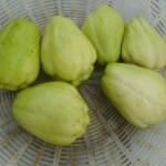 ハヤトウリ:収穫を始める