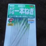 長ネギ(2):苗床に播種