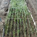 玉ネギ:大雨で苗の根が剥き出しとなる