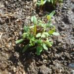 マリーゴールド:発芽した苗を移植する