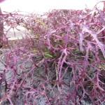 水菜・からし菜・チンゲンサイ:からし菜(コーラルリーフフェザー)の収穫を始める