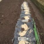 アスパラガス(2):株周りに籾殻を敷く