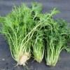 水菜・からし菜・チンゲンサイ:水菜の収穫を終える