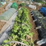 移植菜花:2回目の追肥を施す