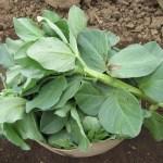 そら豆:親茎の摘芯