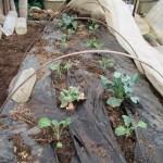 秋播きブロッコリー:購入苗を捕植する
