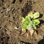 菜園の草花:サクラソウの開花