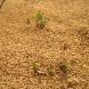 サツマイモ:ベニハルカの発芽が始まる