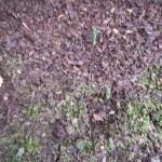 トウモロコシ(1):2回目の発芽が始まる