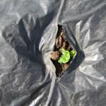 ジャガイモ:発芽・霜害対策