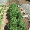シュンギク(2):春シュンギクの収穫