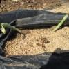 アスパラガス(2):出芽が始まる