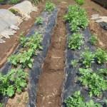 ジャガイモ:霜害対策のPOトンネル撤去