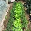 サニーレタス(1):収穫を始める