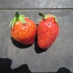 イチゴ:収穫を始める