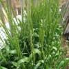 緑肥用麦:種麦の穂の開花が始まる