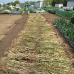 緑肥用麦:天日乾燥小麦を引っ繰り返す