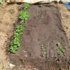 パセリ:露地栽培にする