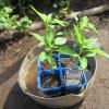シシトウ:苗の植え付け