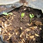 マクワウリ(1):順調に発芽する