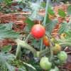ミニトマト(1):第一花房の実が赤くなる、2回目の追肥を施す