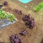 シソ:通路際に苗を植え付ける