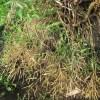 ノラボウ菜:種莢の刈り取り