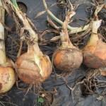 玉ネギ:奥州を全て収穫する