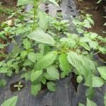 モロヘイヤ:摘芯・収穫を始める