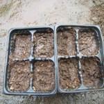 サニーレタス(3):四連ポットに播種