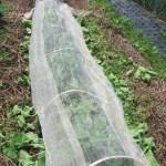 マクワウリ(2):防虫ネットの裾を上げ、蔓を誘引する