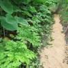 コンニャクイモ:畝に枝葉や籾殻を敷く