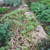 九重栗カボチャ:収穫を終える・残渣の切り刻み