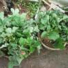 イチゴの育苗:1回目の苗採り