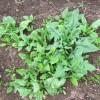 ホウレン草(1):収穫を始める